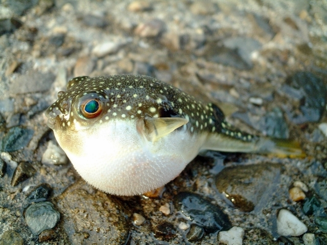 a Fugu, blowfish